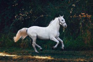 Magneet therapie paarden